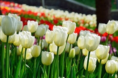 White tulips against the blurred flowerbed Royalty Free Stock Image