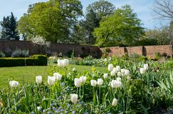 White tulips amidst other spring flowers in Eastcote House Gardens, historic walled garden, north west London UK