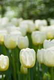 White tulips in april. Field of white tulips in the early morning Royalty Free Stock Image