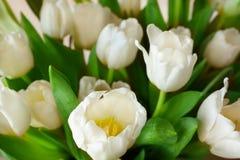 White tulips background Stock Photography