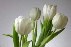 White tulips. On white background Stock Photo