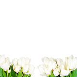White tulips background Stock Photo