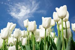 White Tulips on Background Blue Sky. Fresh Spring Composition Stock Image