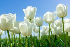 White Tulips on Background Blue Sky. Fresh Spring Composition Royalty Free Stock Images