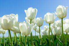 White Tulips on Background Blue Sky. Fresh Spring Composition Stock Photography