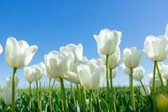 White Tulips on Background Blue Sky. Fresh Spring Composition Royalty Free Stock Photography