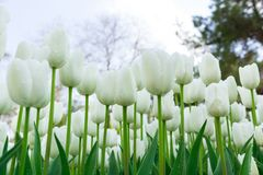 White Tulips on Background Blue Sky. Fresh Spring Composition Stock Images