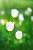 White tulips on the background of green grass close-up. Royalty Free Stock Image