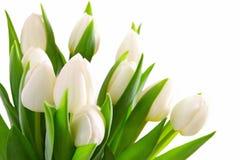 White tulips background. Stock Images