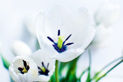 White Tulips. Beautiful tulips  on white Royalty Free Stock Images