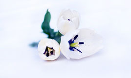 White Tulips. Beautiful tulips  on white Stock Image