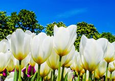 White tulips. Beautiful white tulips in garden with blue sky Royalty Free Stock Photo
