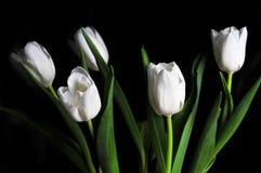 White tulips on black background Royalty Free Stock Image