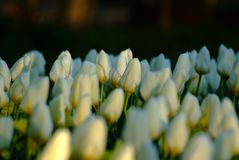 White tulips on black background royalty free stock photo