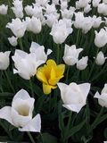 White tulips bloomed in spring, one against all stock image