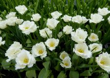 White tulips blooming Stock Photos