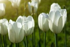 White tulips blossom in garden on sunny summer day stock images