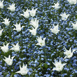 White tulips and blue flowers Stock Photo