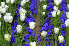 White tulips and blue pansies Royalty Free Stock Image