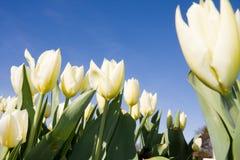 White tulips on blue sky stock photo