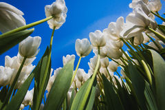 White tulips with blue sky background Royalty Free Stock Image