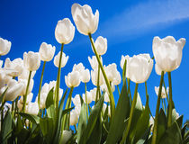 White tulips with blue sky background Stock Photography