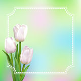 White tulips with border. Three white tulips on a light colored background with white frame. Vector realistic flowers Royalty Free Stock Photo