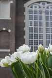 White tulips with brown holland building. As background Stock Photo