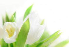 White tulips close up Royalty Free Stock Image