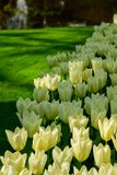 White tulips close up in Holland , spring time flowers in Keukenhof. Beauty royalty free stock image