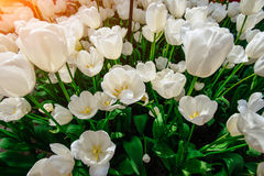 White tulips close up Triumph Weisse Berliner. Royalty Free Stock Image