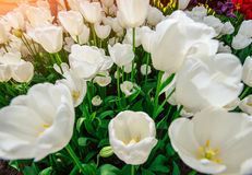 White tulips close up Triumph Weisse Berliner. Stock Photo