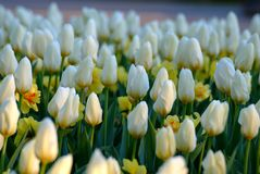 White tulips and daffodils royalty free stock photos