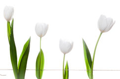 White Tulips Family Stock Photography