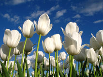 White tulips on a field. In April Stock Photography