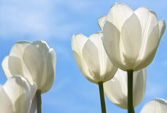 White Tulips Field Stock Photography