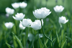 White Tulips on field Stock Photography