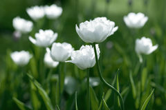 White Tulips on field. Background Royalty Free Stock Photography