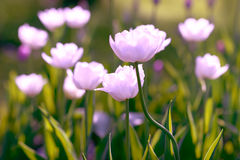 White Tulips on field. Background Royalty Free Stock Photos