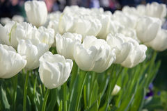 White Tulips field Royalty Free Stock Photo