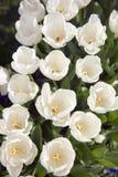 White Tulips field Stock Photo