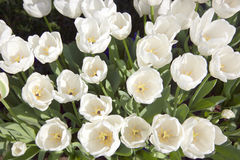 White Tulips field Royalty Free Stock Image