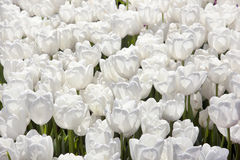 White Tulips field Royalty Free Stock Photos