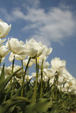 White tulips. Field with a blue sky Royalty Free Stock Photo
