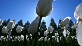 White Tulips on the Field. Shooting White Tulips on the Field in the Backlight. Shooting Pass stock video