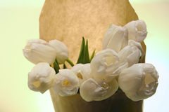 White tulips flower bouqet on light background. Bouqet of white tulips, beautiful spring flowers Royalty Free Stock Photo