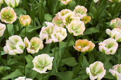 White Tulips Flower Royalty Free Stock Photos