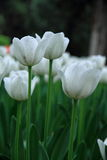 White tulips flower in zhongshan Park. A pile of white tulips are in full bloom in beijing zhongshan park Royalty Free Stock Photos