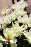 White tulips. Flowers, spring, Cambridge United Kingdom Royalty Free Stock Photography