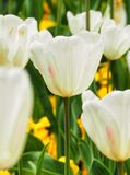 White tulips. stock photography